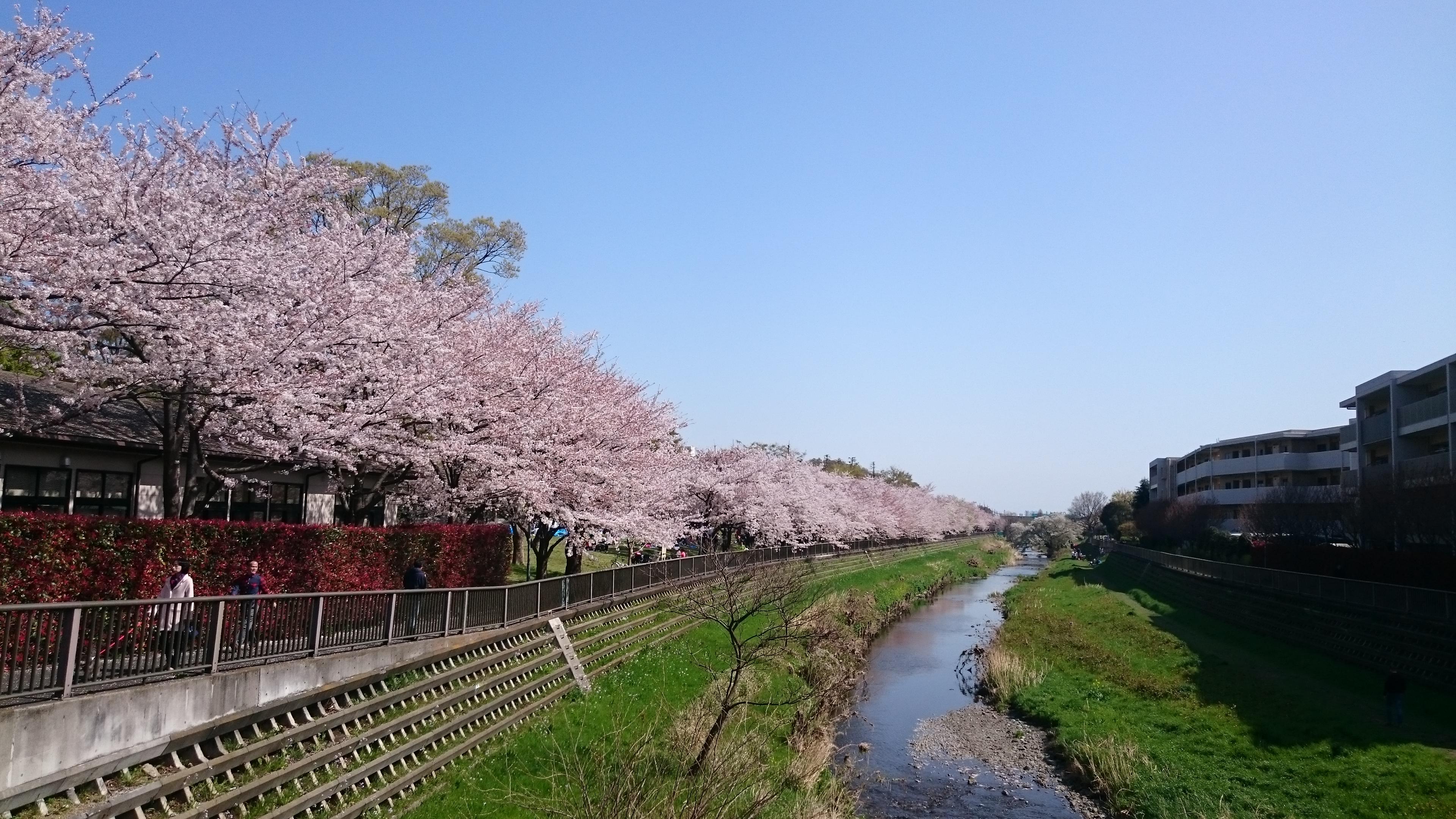 喜多見野川_桜