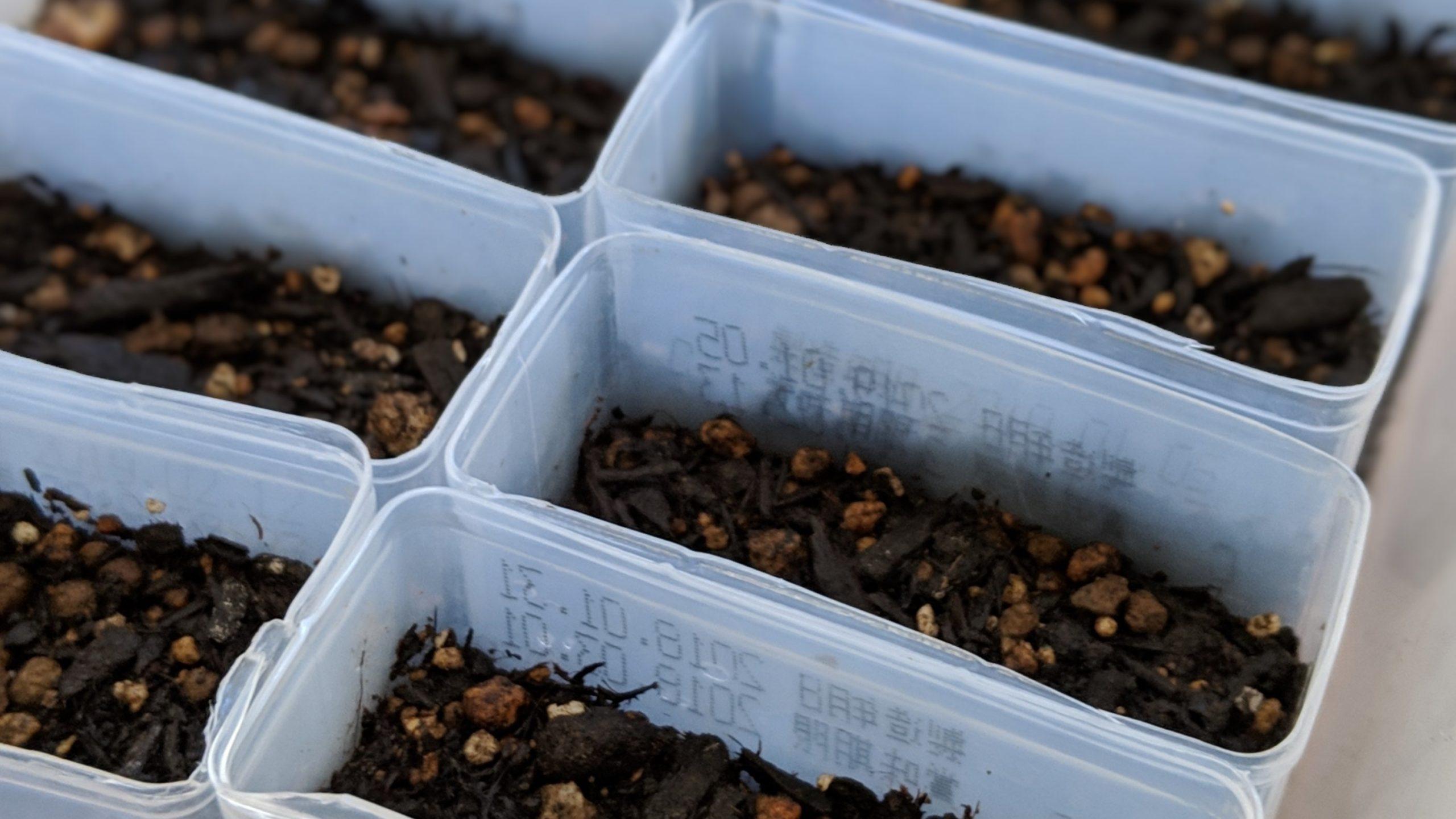 家庭菜園の苗作り。唐辛子の目は出るか?!