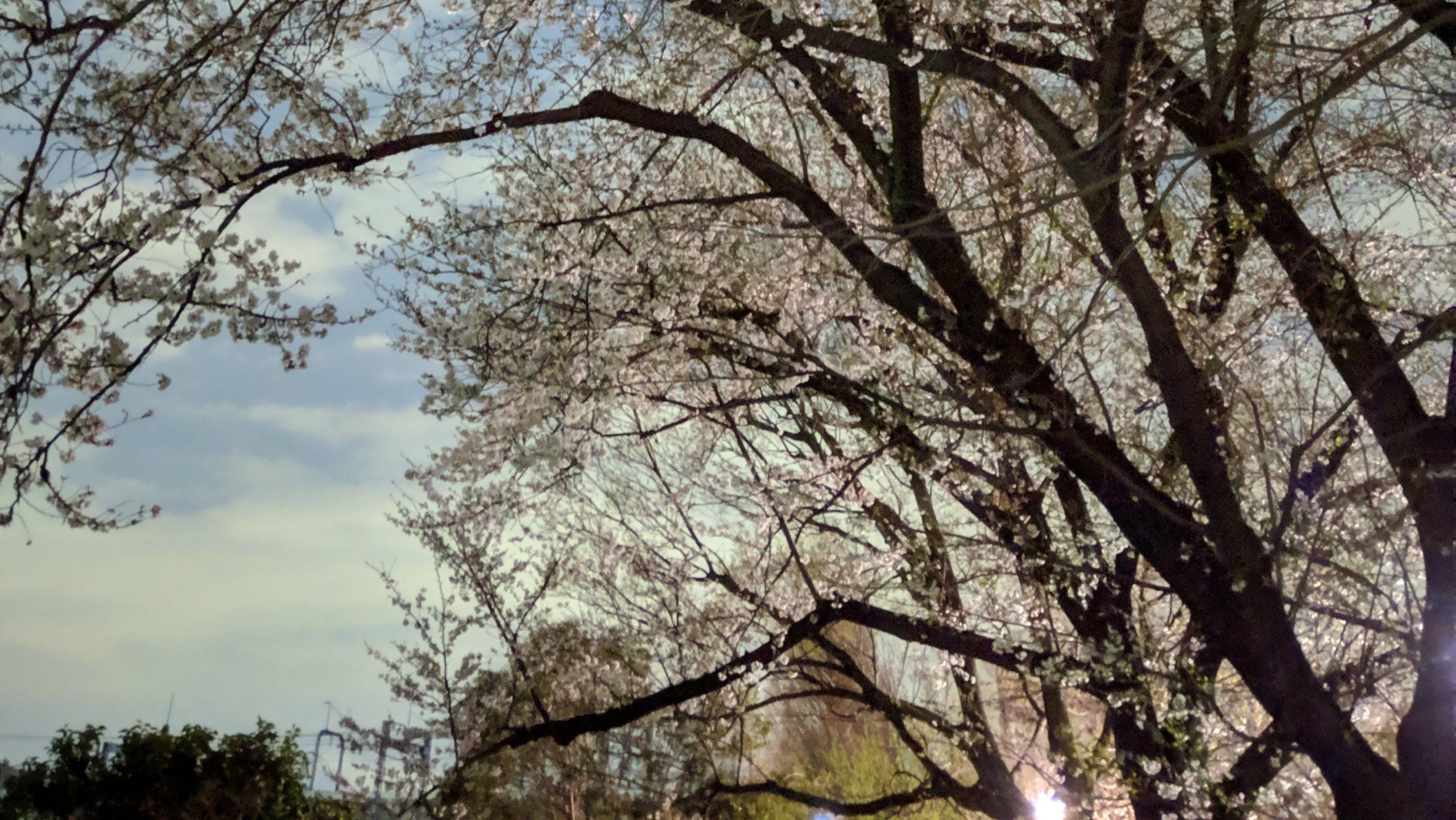 2019年東京夜桜(世田谷区・喜多見)